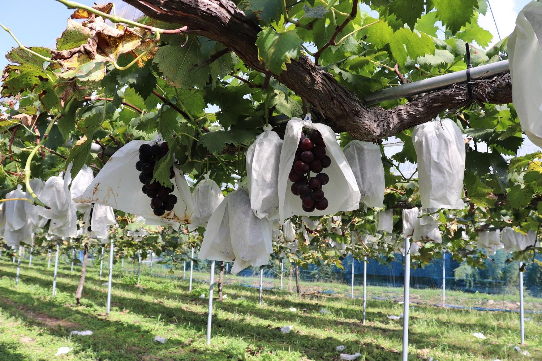 宍粟市のブドウ園